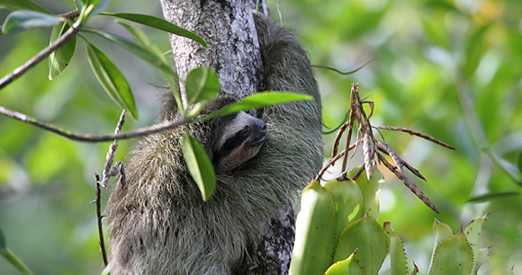 Endangered Pygmy Three-Toed Sloth - Photo from Flickr/Bryson Voirin