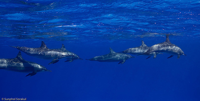Navy Agrees to Limit Underwater Assaults on Whales, Dolphins - Photo by -Sunphol Sorakul
