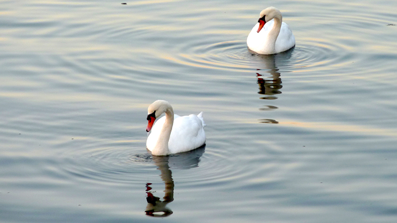 Urge Governor Cuomo to Save New York's Mute Swans!- Photo from Flickr by Peter Radunzel