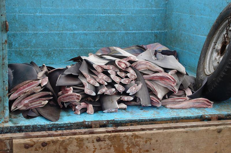Shark Fin Trade Elimination Act - Photo by Mathew D Potenski