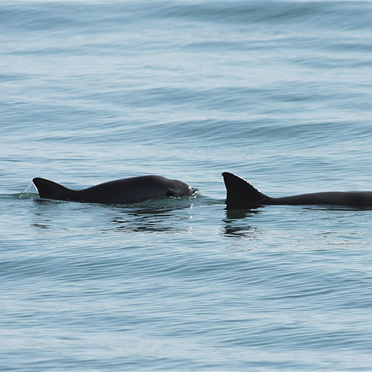 Report: Only 10 Vaquita Remain, May Not Survive President Obrador's Tenure