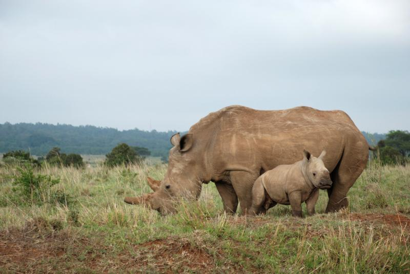 Please Support Emergency Protection for Rhinos