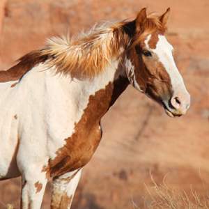 Members of Congress Condemn Barbaric Surgical Sterilization Experiments on Wild Horses