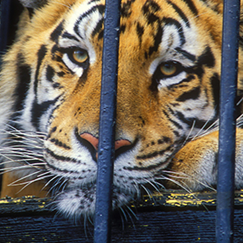 Please Ask Your Representative to Cosponsor a Bill to Protect Big Cats!